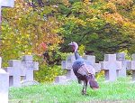 Turkey in Calvary Cemetery